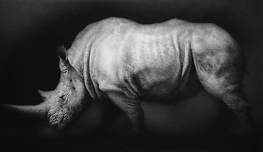 carlota ferrer el último rinoceronte blanco